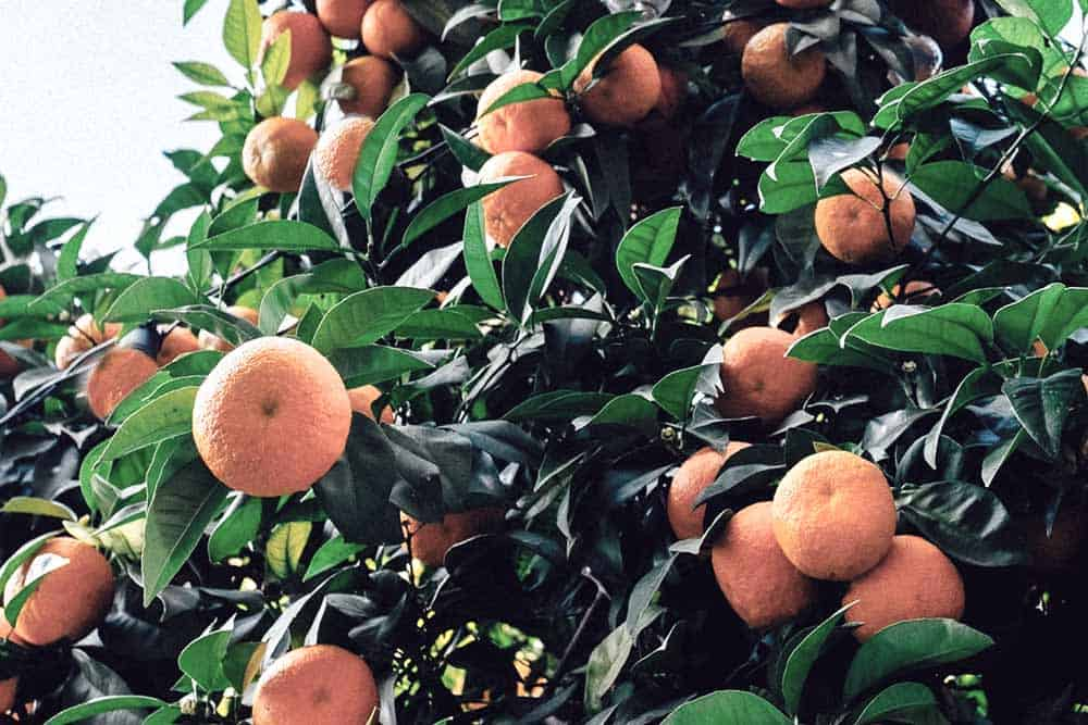 Oranges with stories...smell them!