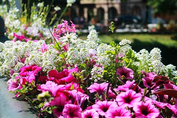 You will love the beautiful flowers during the Spring in Strasbourg