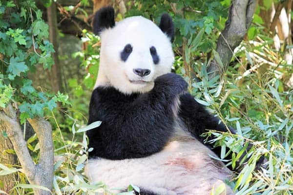 See the very cute pandas at Vienna Zoo